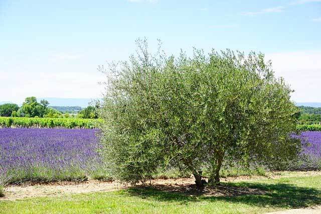 un olivier