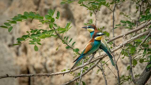 Deux oiseaux guêpiers d'Europe sur une branche d'arbre