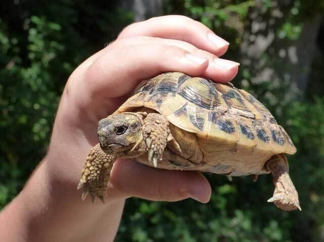 un enfant qui tient une tortue méditerranéenne dans sa main