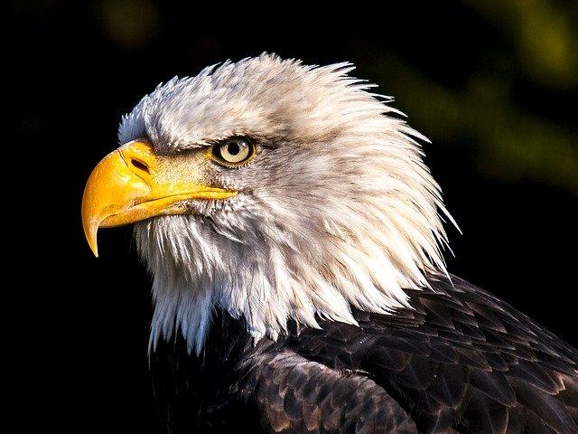 Un aigle royale