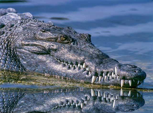 un crocodile dans l'eau