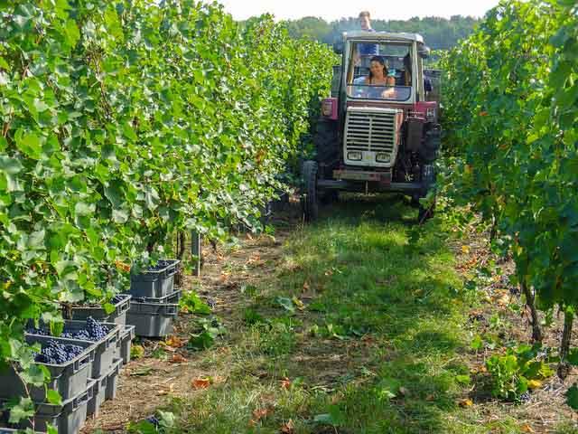 Une agricultrice qui se promène dans ses vignes avec son tracteur