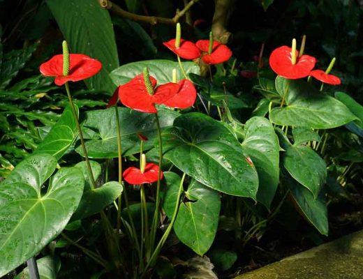 Image d'anthuriums avec des fleurs rouges