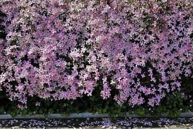 image d'une clématite en fleurs
