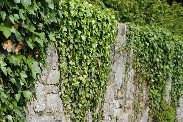 Le Lierre est un arbuste grimpant