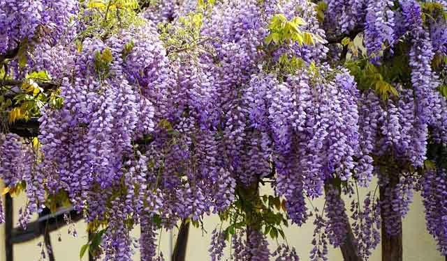 La glycine (Wisteria) est une plante grimpante  idéal pour la pergola