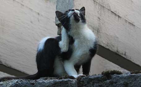 Un chat qui s'arrache les poils