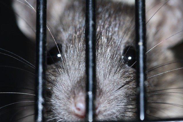 Une souris qui  a été capturé dans une cage (sans la tuer)