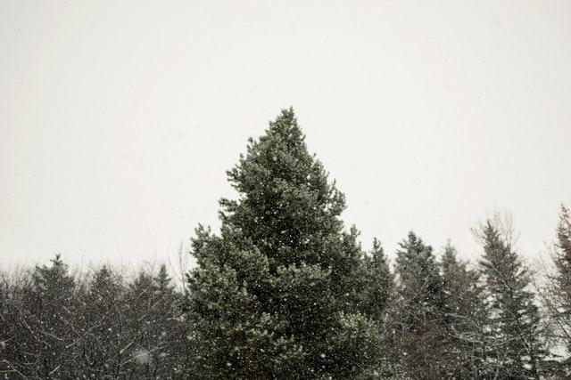 bois d'épicéa (arbre)