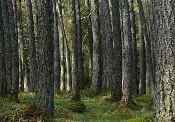 Du bois de mélèze