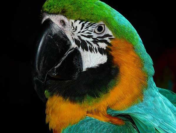 Zoom sur la tête d'un perroquet